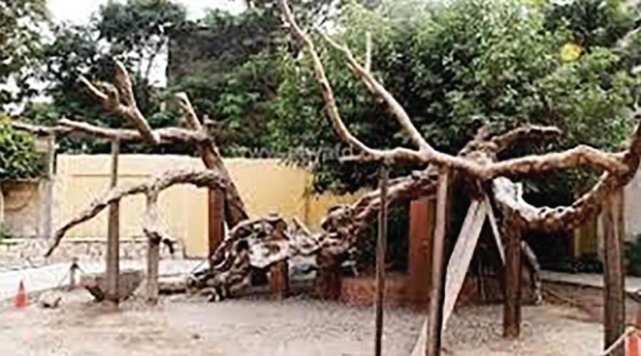 شجرة العذراء بالمطرية